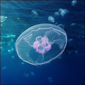 A Moon jellyfish at Gota Sagher (Red Sea, Egypt).