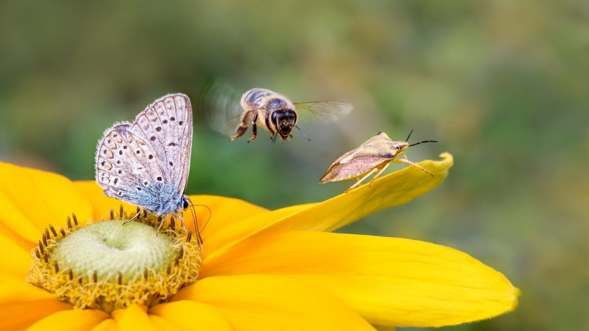 A butterfly, bee, and moth on a yellow flower