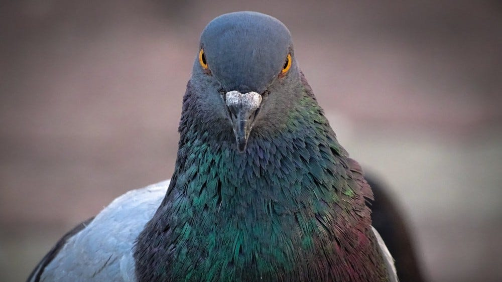 Front view of the face of Rock Pigeon