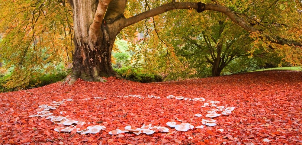 fairy ring of mushrooms against red fallen leaves