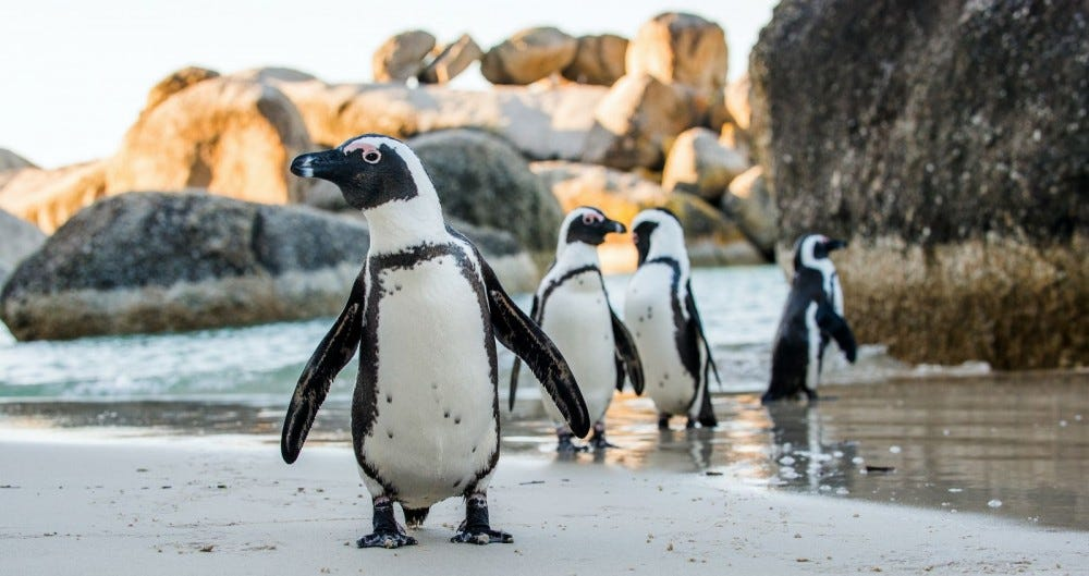 African penguins on a sandy beach