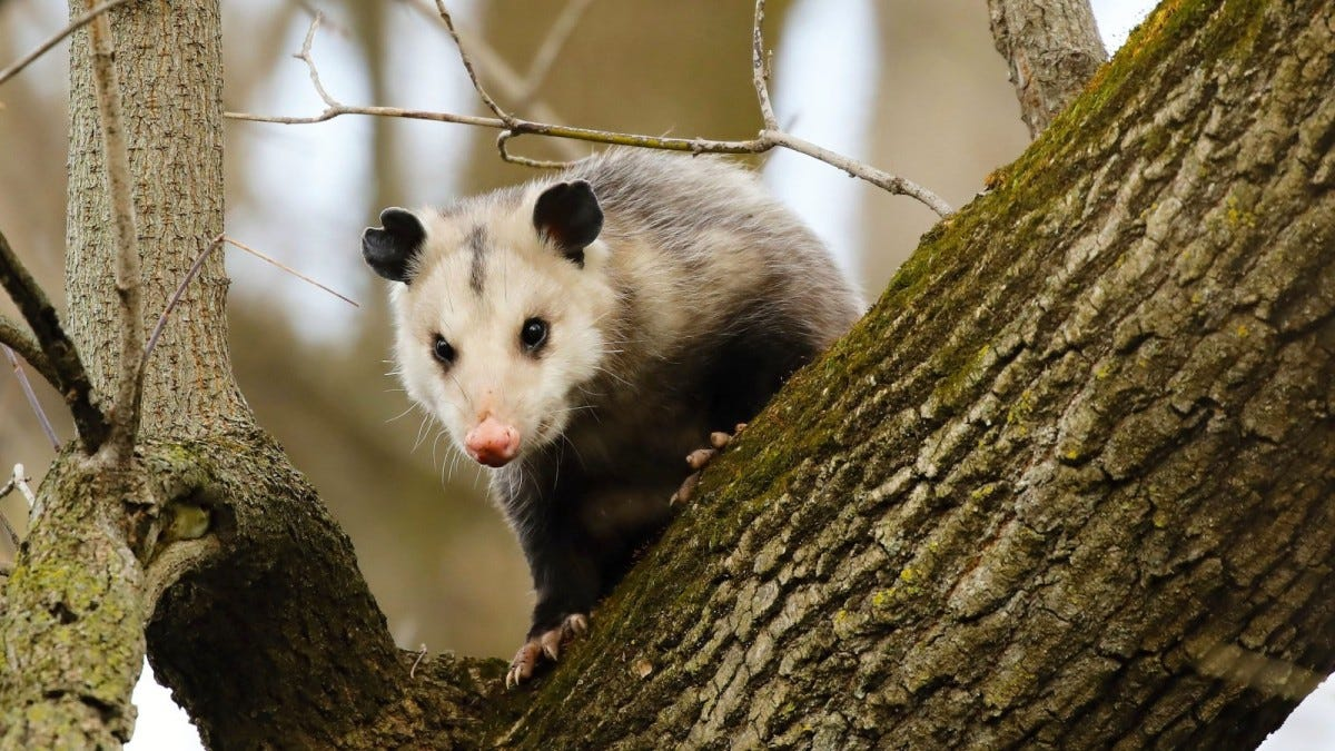 North American opossum, climbing on a tree