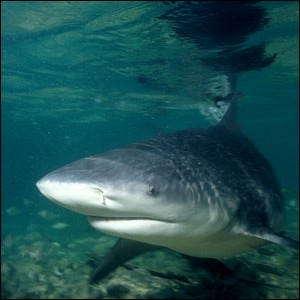A close-up photograph of a bull shark in brackish water.