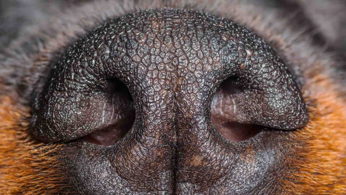 Rottweiler Dog Nose Close-up