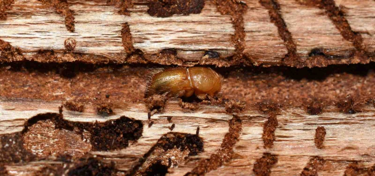 European spruce bark beetle under bark of tree