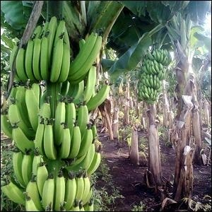 "An example of a banana ""tree"" with green fruit."