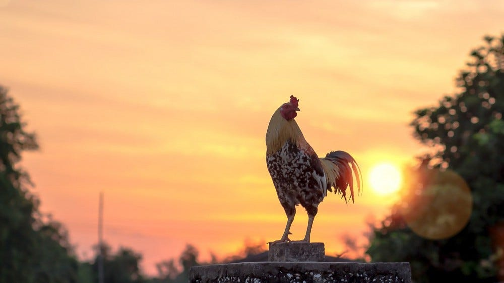 Silhouette of rooster against sunrise sky