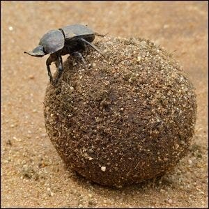 A large Copper Dung Beetle atop its dung ball.