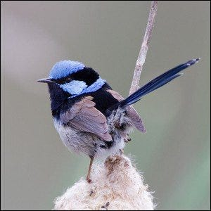 A male Superb Fairywren plucking at seeds on a mature bloom.