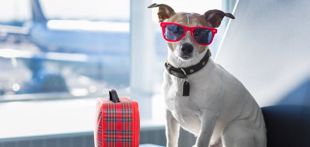 jack russell terrier waiting in airport terminal