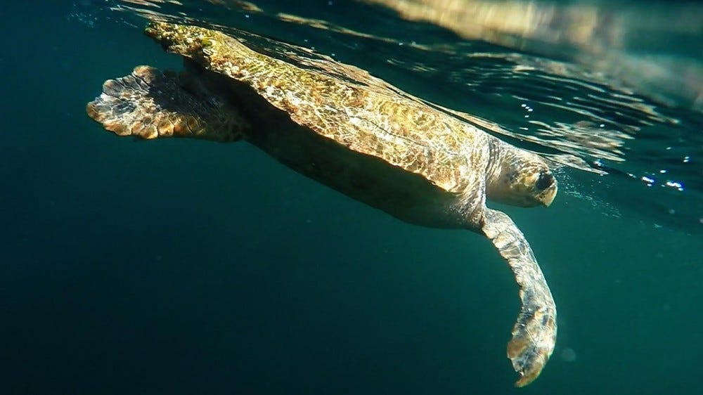 Turtle swimming near the top of the sea