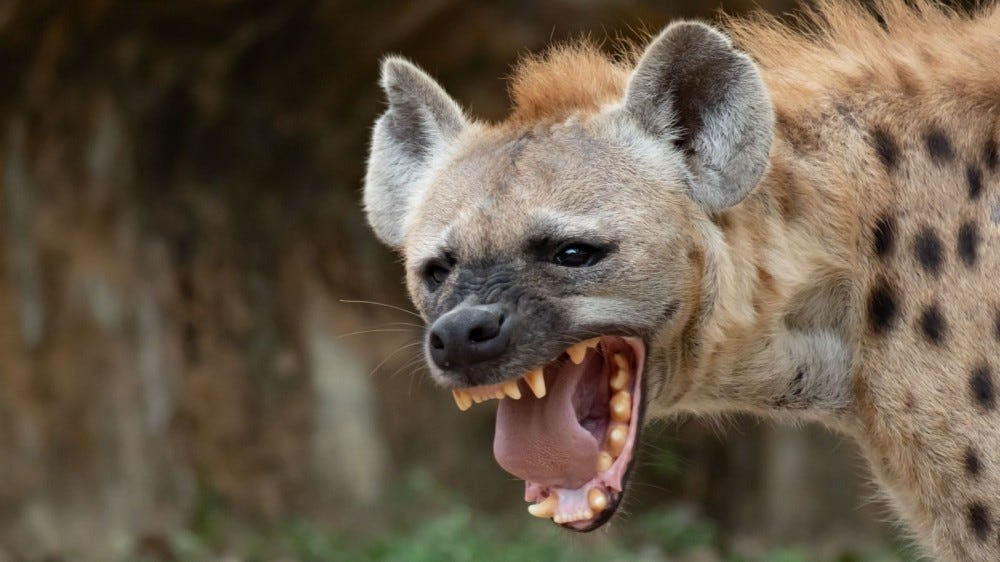 a hyena laughing